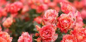Flemington Roses