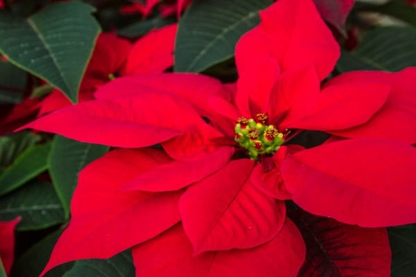 To get the best from Poinsettias