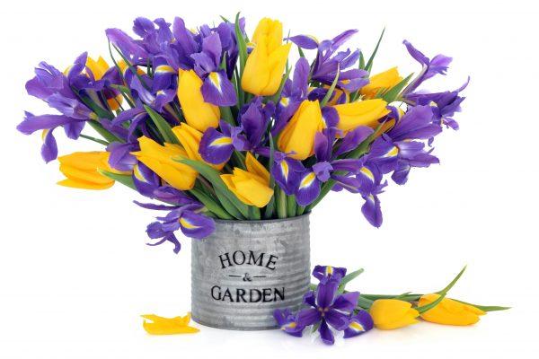 Blue Flag Iris and Yellow Tulip Flowers