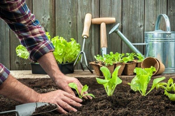 Farmer Planting Lettuce
