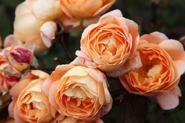 Beautiful English Roses in Garden