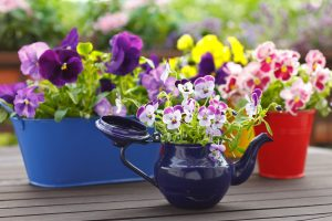 Purple, Red and Yellow Pansy flowers in Colored Pots