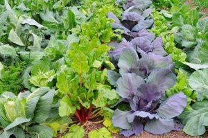 Salad Vegetables and Greens