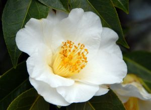 White Yellow Camellia Flower in Bloom in Spring