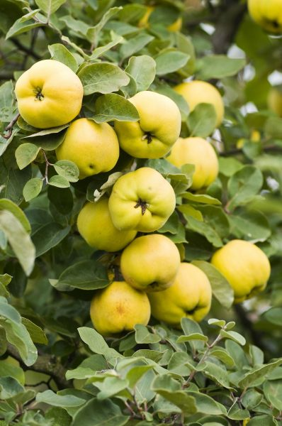Fruits on a Quince Tree