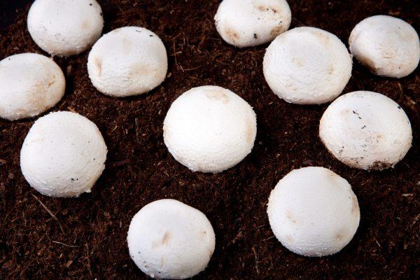 Several White Mushrooms Growing Over Black Soil