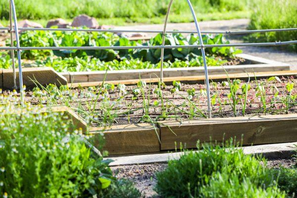 Early Summer in Urban Vegetable Garden