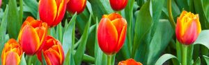 How to get grow healthy bulbs with Seasol banner