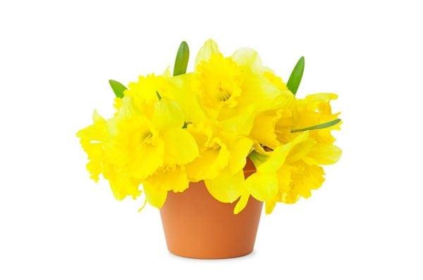 Daffodil Flowers in Pots