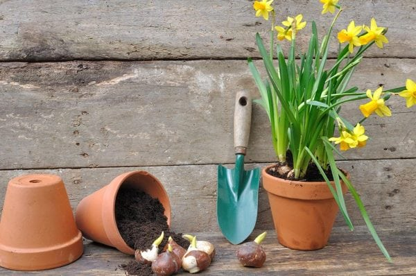 How to get grow healthy bulbs with Seasol