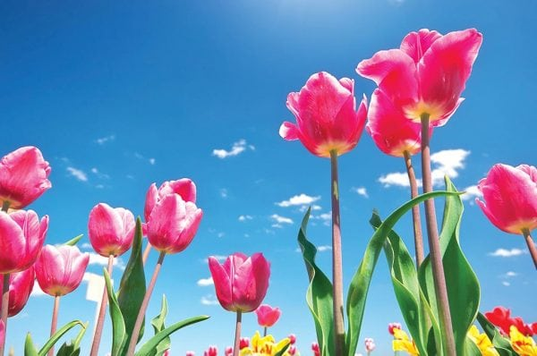 Beautiful Tulips on Clear Sky Background