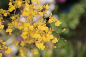 native cymbidiums orchids