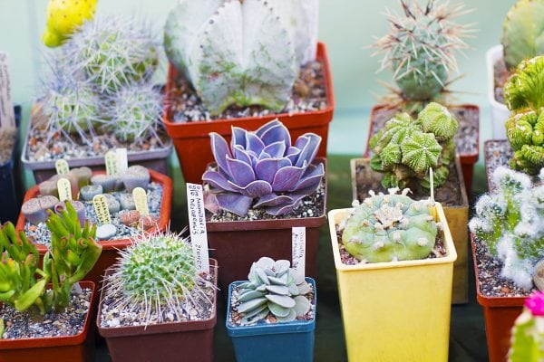 Images of cactus and succulents growing in pots