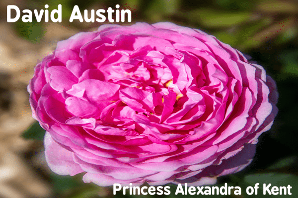 How to choosing rose varieties - Princess Alexandra of Kent