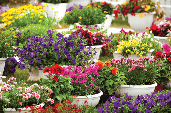 Display of colourful annuals in pots