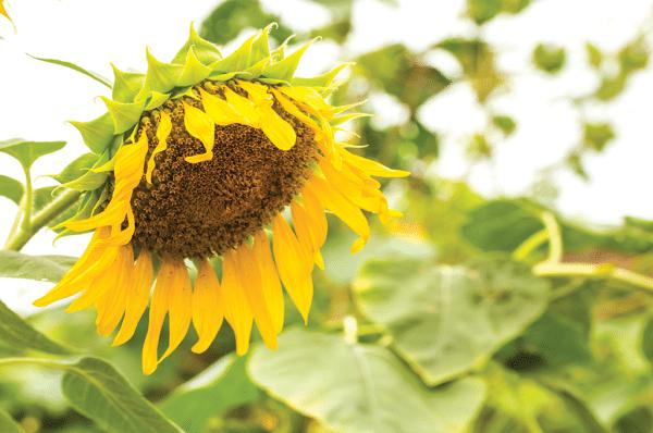 sunflower needing water in summer