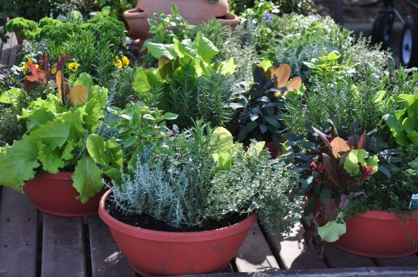 pots of vegetables and herbs