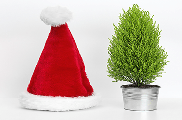 How to look after living christmas trees