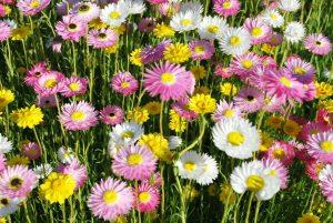 Australian native paper daisy