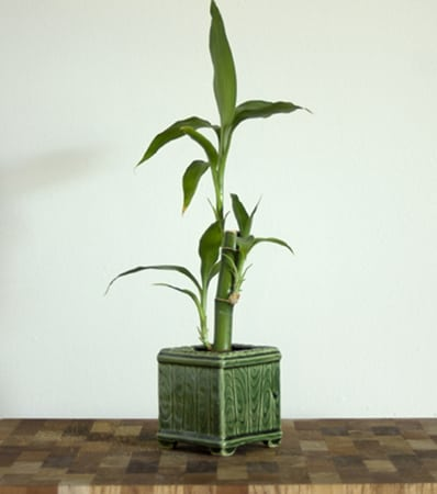 How to feed Lucky Bamboo in soil