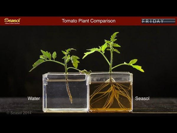 How Seasol helps plants with root growth trials