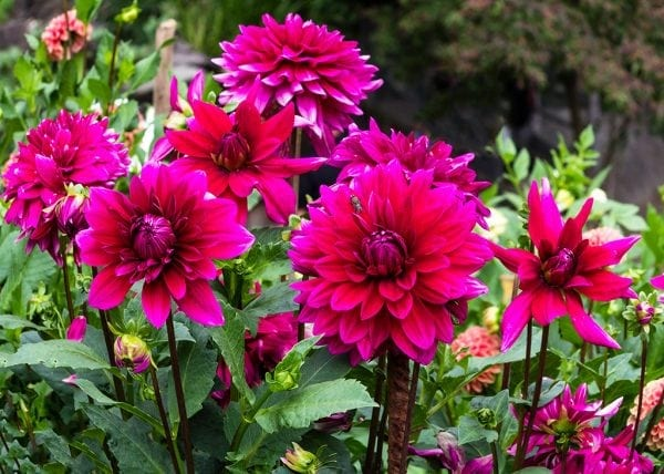How to grow dahlias in spring for brilliant flower displays Your garden