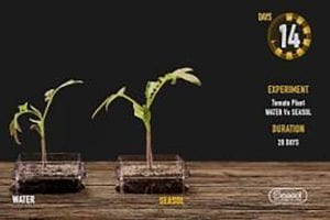 Seasol promotes Tomato plant in soil