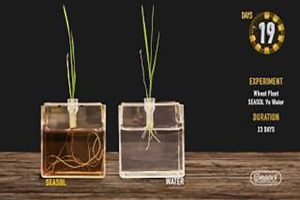 Seasol promotes root growth of Wheat plants