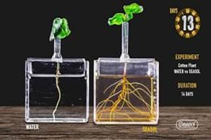 Seasol promotes root growth of Cotton plants