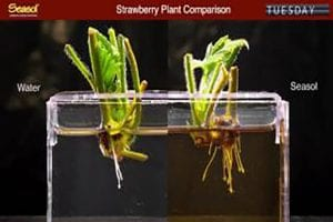 Seasol promotes root growth of Strawberry plants