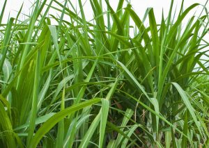 Seasol Commercial Sugar Cane Trial Report Summary