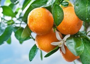 Seasol Commercial Citrus Report Trial Summary