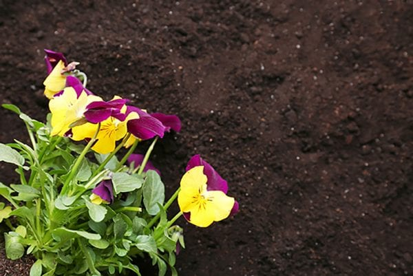 Soil preparation for planting pansies