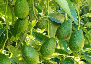 Seasol Commercial Avocado Trial