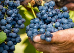 Seasol Commercial Wine Grape Trial Report Summary