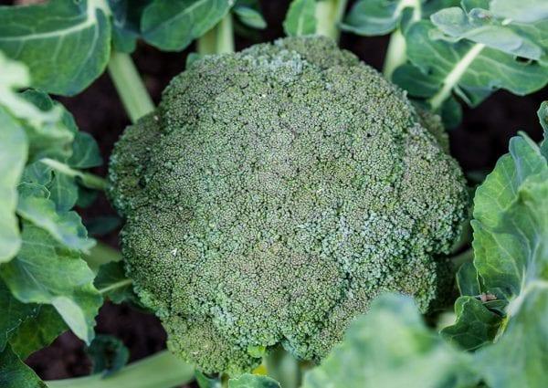 Seasol Commercial Broccoli trial report