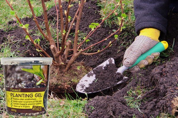 Successful transplanting tips with Seasol Planting Gel