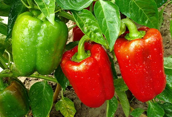 Growing capsicum in 2019 is easy with PowerFeed PRO SERIES Tomatoes & Vegetables fertiliser and soil improver