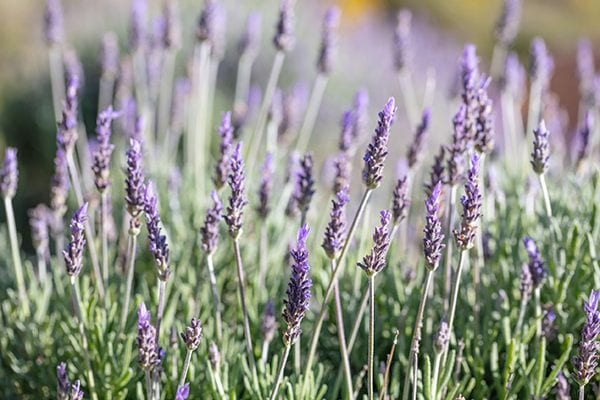 Lavender flowers - 5 top silver foliage plants
