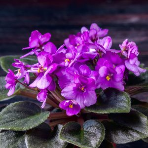 African violet - what's news