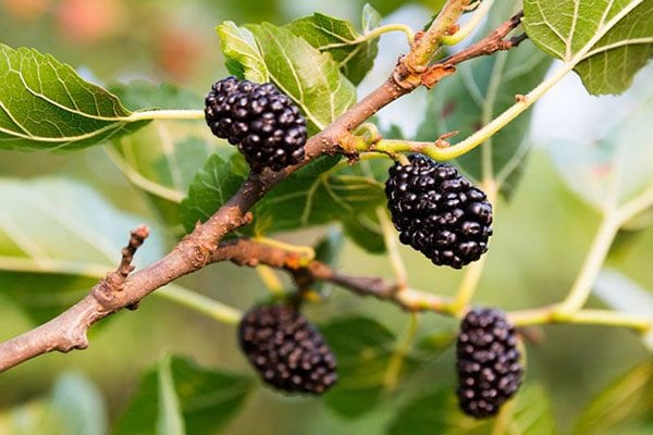 Feed your English Mulberry with PowerFeed