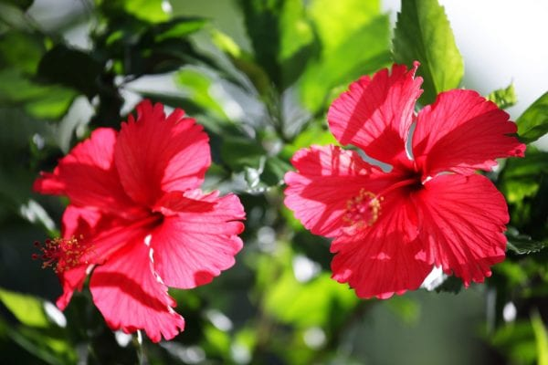 Seasol helps stressed hibiscus