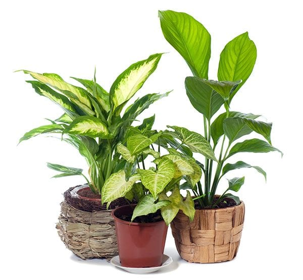 Revitalise your indoor plants with Seasol