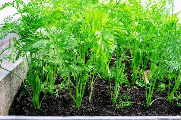 How to grow vegetables - carrots