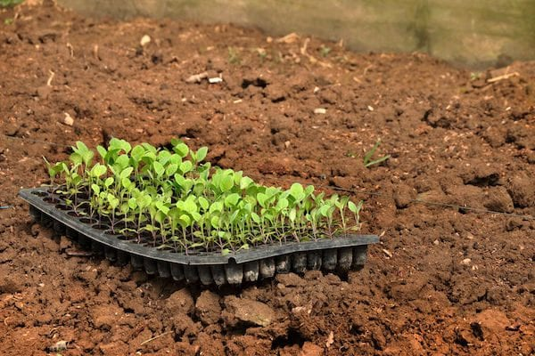How to grow vegetables - kale