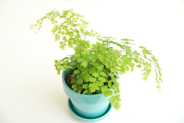 Tips for looking after Maidenhair Ferns