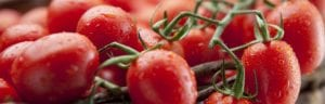 Seven handy tips o how to grow tasty juice tomatoes How to grow vegetables - tomatoes Handy Hints