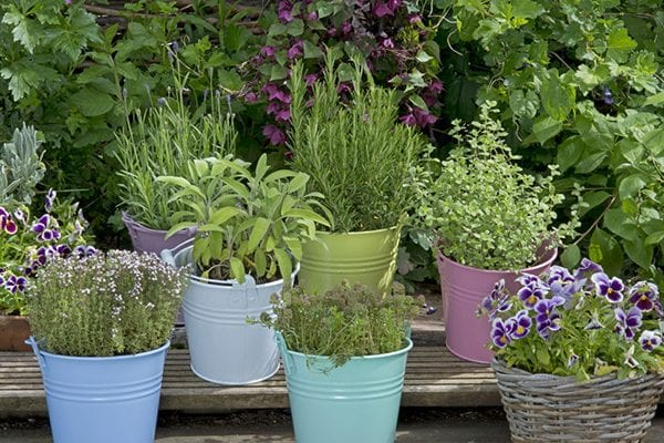 Tips on growing your own flavoursome tea combination plants What to do in the garden May 2021