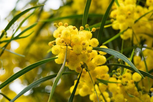 Collecting your own wattle seed. Your garden this month -September