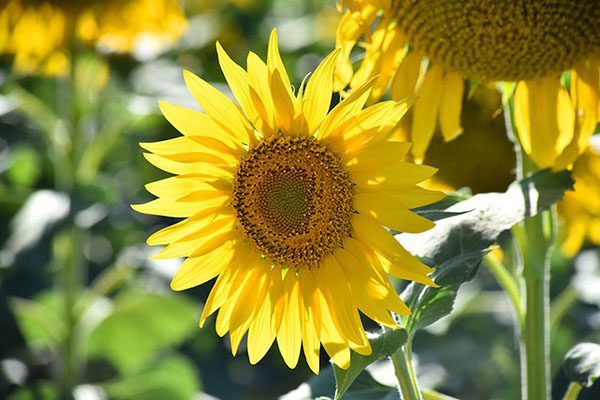 How to grow sunflowers Your Garden this month - October